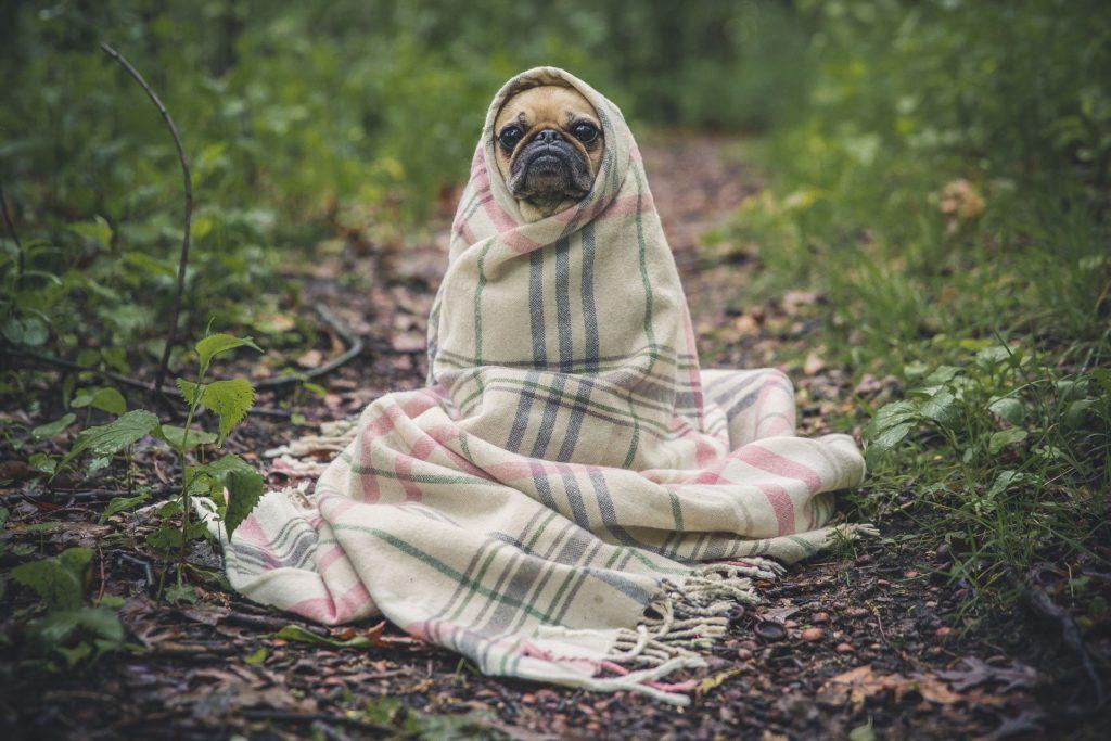 https://pixabay.com/photos/pug-dog-pet-animal-puppy-cute-801826/